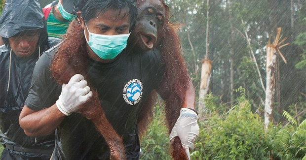 "Orangutans - Victims of ""Sustainable"" Palm Oil"