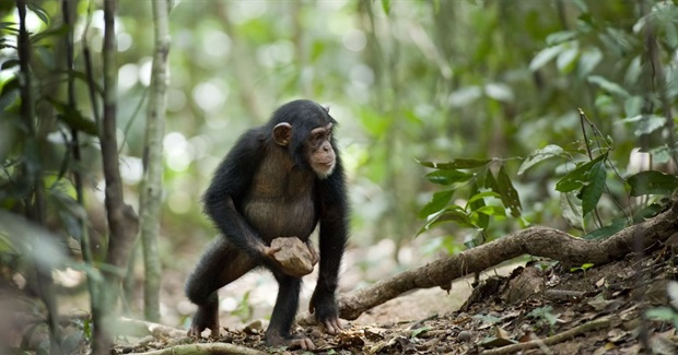Mysterious Chimpanzee Behaviour May Be Evidence of 'Sacred' Rituals