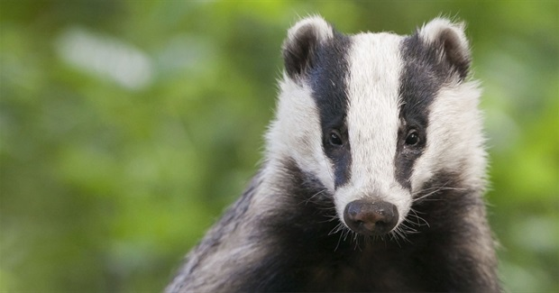Mass Killing of Badgers in England Begins Again