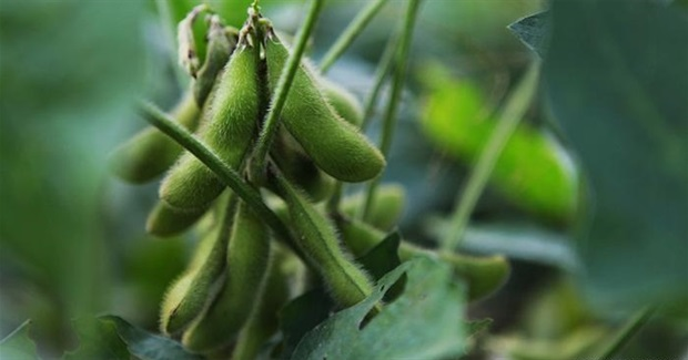 Paraguay struggles to grow soy sustainably