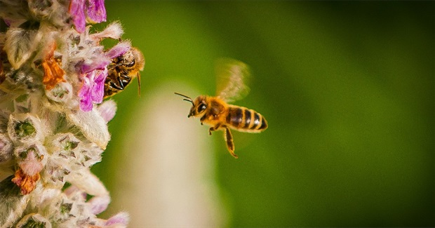 Exposed: Pesticide Industry Deployed Aggressive Lobby Effort to Quash Bee Protections