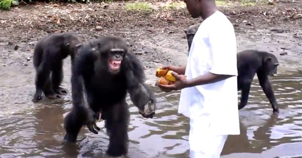 Outrage Over NY Blood Center's Decision to Abandon Lab Chimps